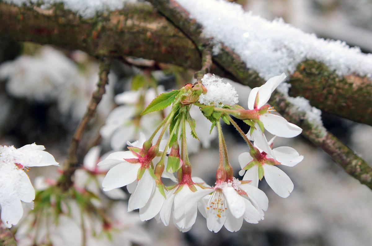 Kirschblüte; Foto: Pixabay, gemeinfrei