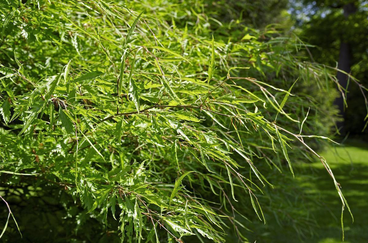 Blätter eines Baumes im Schlossgarten von Schloss Favorit Rastatt; Foto: Staatliche Schlösser und Gärten Baden-Württemberg, Andrea Rachele
