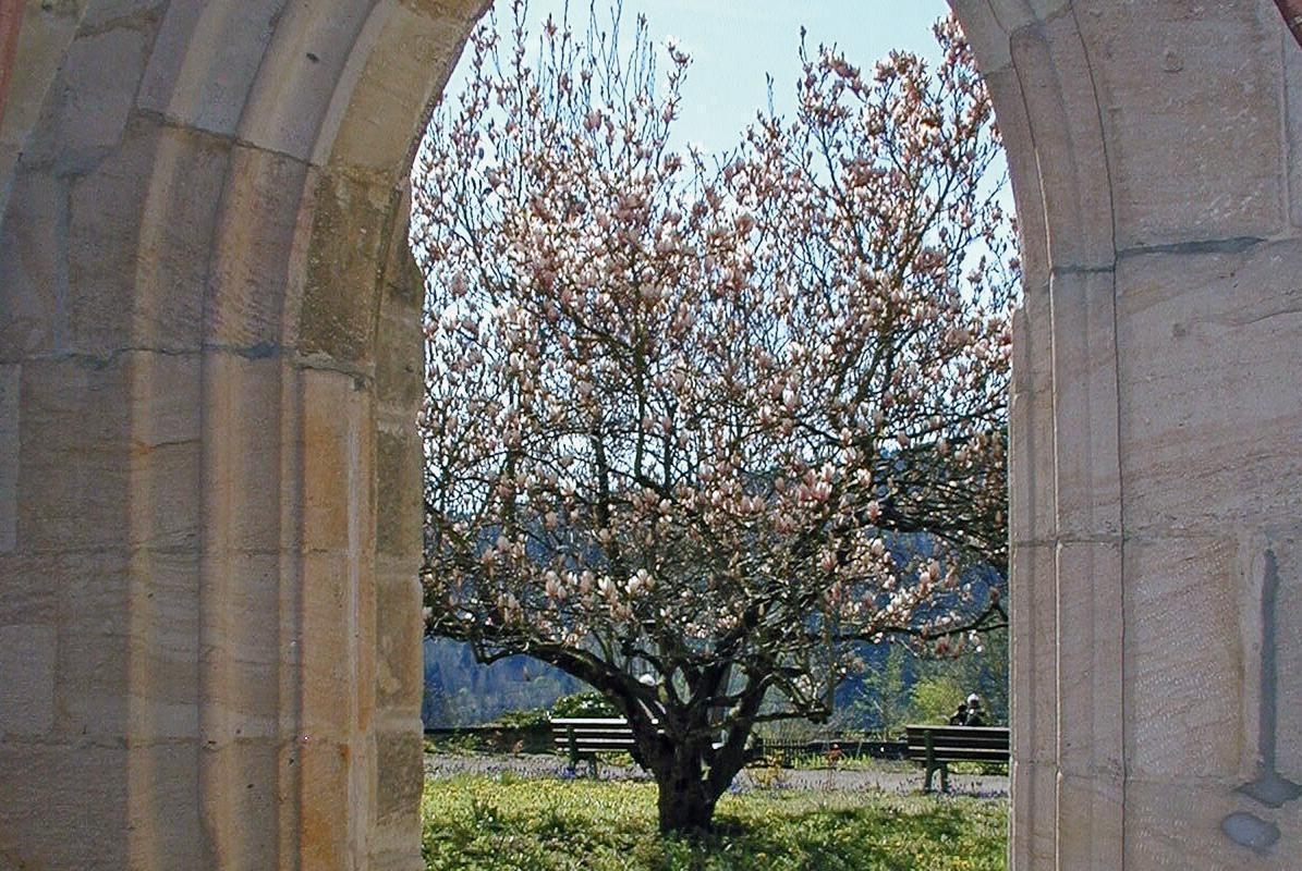 Blick aus dem Kreuzgang von Kloster Lorch auf eine Magnolie; Foto: Staatliche Schlösser und Gärten Baden-Württemberg, Ortsverwaltung Ludwigsburg