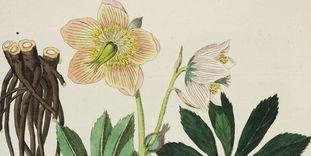 Christrose aus Friedrich Dreves: Botanisches Bilderbuch für die Jugend und Freunde der Pflanzenkunde, 5 Bände, Leipzig 1794-1819