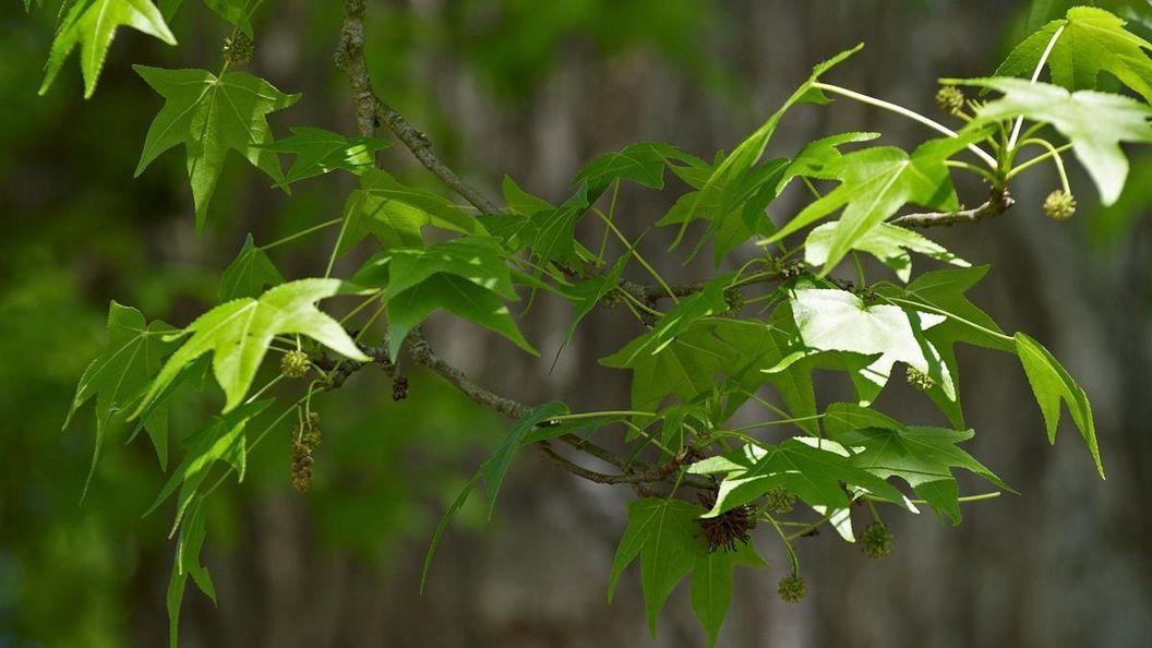 Blätter eines Baumes im Schlossgarten von Schloss Favorit Rastatt
