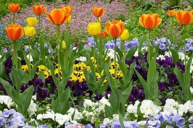 Tulpen und Stiefmütterchen; Foto: Pixabay, gemeinfrei