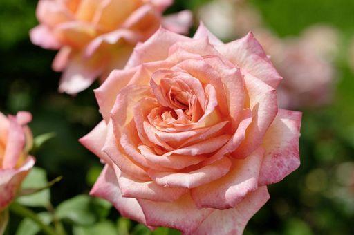Rose im Rosengarten von Schloss Weikersheim