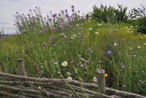 Blühende Sommerwiese auf der Heuneburg