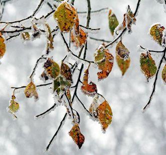 Blätter beim ersten Frost