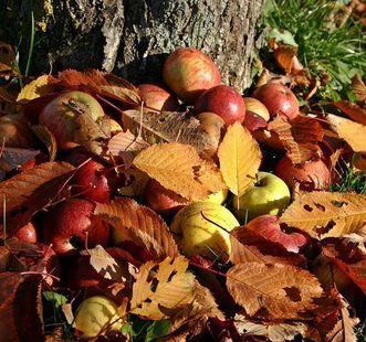 Äpfel unter einem Baum